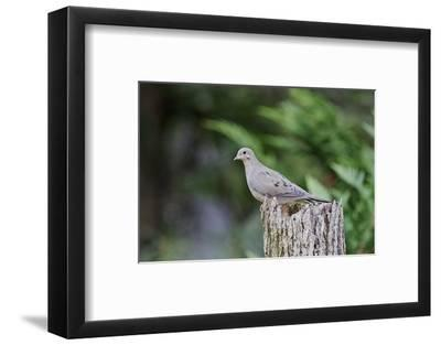 Mourning Dove-Gary Carter-Framed Photographic Print