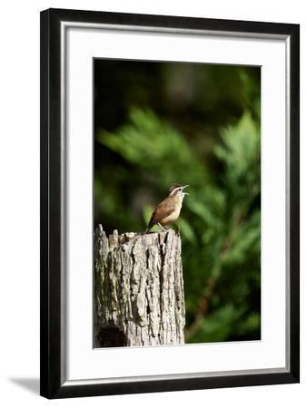 Carolina Wren-Gary Carter-Framed Photographic Print