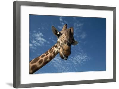 Giraffe-Rick Doyle-Framed Photographic Print