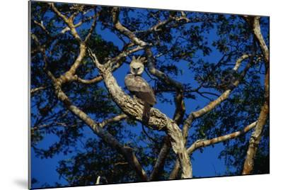 Young Harpy Eagle Perched in Tree-W^ Perry Conway-Mounted Photographic Print