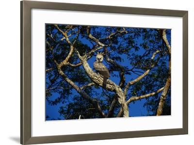 Young Harpy Eagle Perched in Tree-W^ Perry Conway-Framed Photographic Print