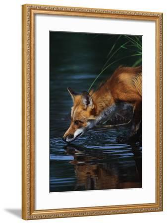 Red Fox Drinking Water-W^ Perry Conway-Framed Photographic Print