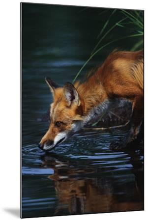 Red Fox Drinking Water-W^ Perry Conway-Mounted Photographic Print
