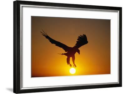 Bald Eagle Flying at Sunrise-W^ Perry Conway-Framed Photographic Print