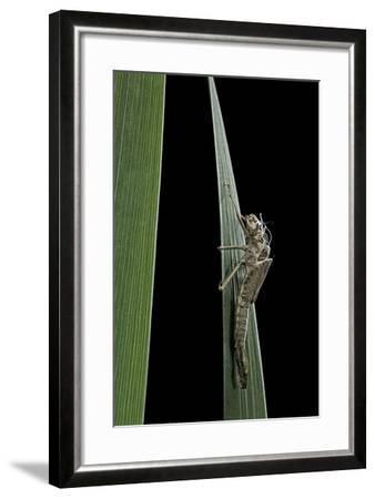 Pyrrhosoma Nymphula (Large Red Damselfly) - Larva Skin after Emerging-Paul Starosta-Framed Photographic Print