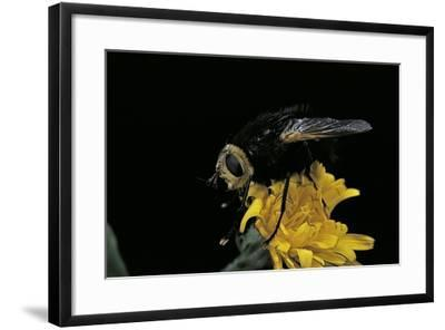 Tachina Grossa (Giant Tachinid Fly)-Paul Starosta-Framed Photographic Print