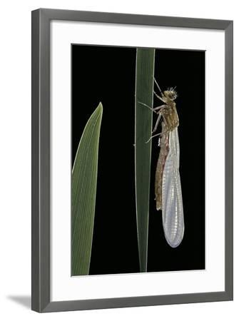 Pyrrhosoma Nymphula (Large Red Damselfly) - Emerging-Paul Starosta-Framed Photographic Print