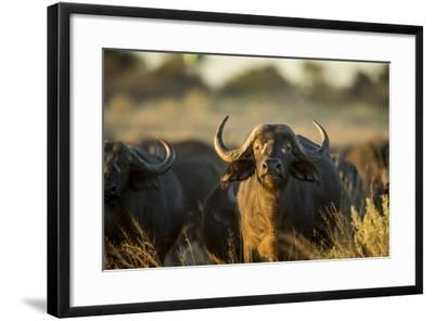 Cape Buffalo, Moremi Game Reserve, Botswana-Paul Souders-Framed Photographic Print