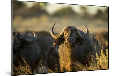 Cape Buffalo, Moremi Game Reserve, Botswana-Paul Souders-Mounted Photographic Print
