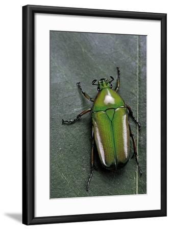 Smaragdesthes Africana (Flower Beetle)-Paul Starosta-Framed Photographic Print