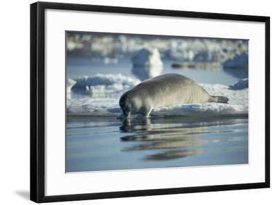 Bearded Seal Dives from Sea Ice in Hudson Bay, Nunavut, Canada-Paul Souders-Framed Photographic Print