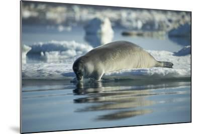 Bearded Seal Dives from Sea Ice in Hudson Bay, Nunavut, Canada-Paul Souders-Mounted Photographic Print
