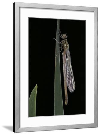 Pyrrhosoma Nymphula (Large Red Damselfly) - Emerging-Paul Starosta-Framed Photographic Print