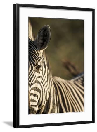 Plains Zebra, Moremi Game Reserve, Botswana-Paul Souders-Framed Photographic Print