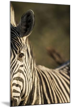 Plains Zebra, Moremi Game Reserve, Botswana-Paul Souders-Mounted Photographic Print
