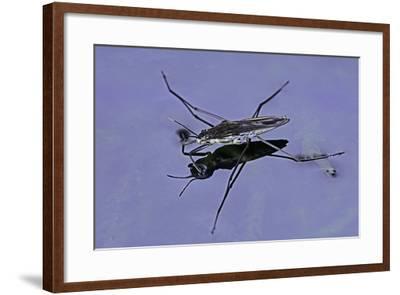 Gerris Lacustris (Common Pond Skater)-Paul Starosta-Framed Photographic Print