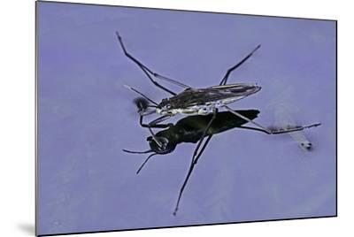 Gerris Lacustris (Common Pond Skater)-Paul Starosta-Mounted Photographic Print