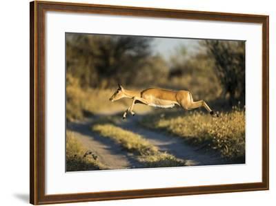 Leaping Impala, Moremi Game Reserve, Botswana-Paul Souders-Framed Photographic Print