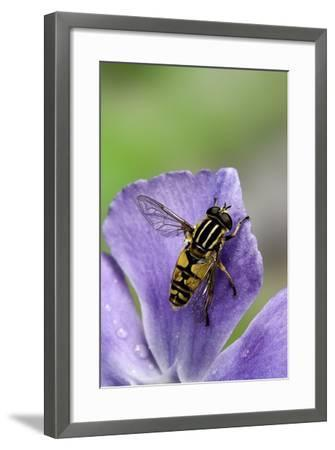 Helophilus Pendulus (Hoverfly, Sun Fly)-Paul Starosta-Framed Photographic Print