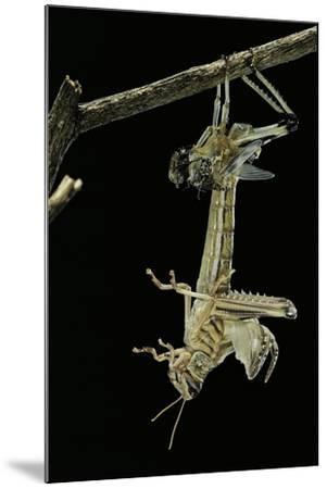 Schistocerca Gregaria (Desert Locust) - Emerging-Paul Starosta-Mounted Photographic Print