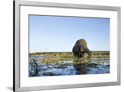 African Elephant, Chobe National Park, Botswana-Paul Souders-Framed Photographic Print
