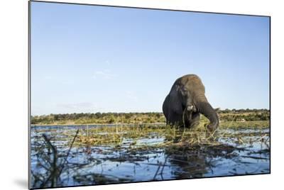 African Elephant, Chobe National Park, Botswana-Paul Souders-Mounted Photographic Print
