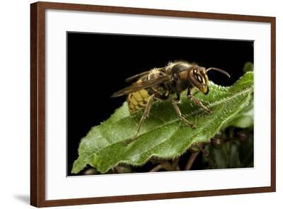 Vespa Crabro (European Hornet)-Paul Starosta-Framed Photographic Print