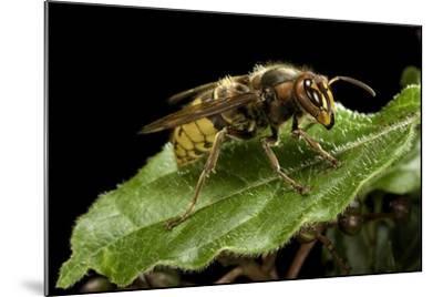 Vespa Crabro (European Hornet)-Paul Starosta-Mounted Photographic Print