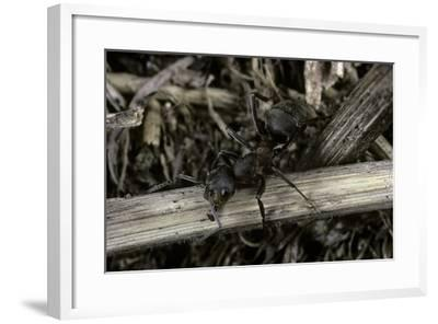 Formica Rufa (Red Wood Ant)-Paul Starosta-Framed Photographic Print