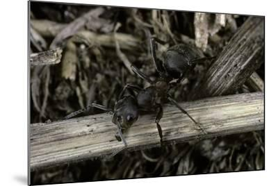 Formica Rufa (Red Wood Ant)-Paul Starosta-Mounted Photographic Print