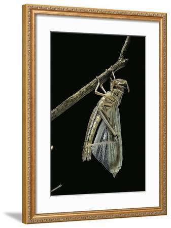 Schistocerca Gregaria (Desert Locust) - Emerging-Paul Starosta-Framed Photographic Print
