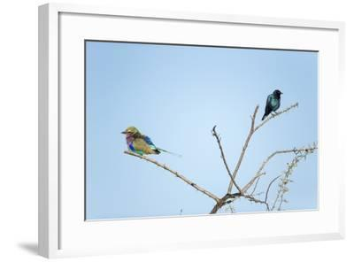 Lilac Breasted Roller and Burchell's Starling, Botswana-Paul Souders-Framed Photographic Print