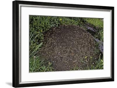 Formica Rufa (Red Wood Ant) - Dome-Shaped Nest-Paul Starosta-Framed Photographic Print