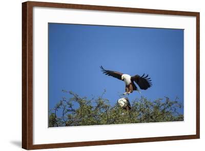 Fish Eagles Mating, Chobe National Park, Botswana-Paul Souders-Framed Photographic Print