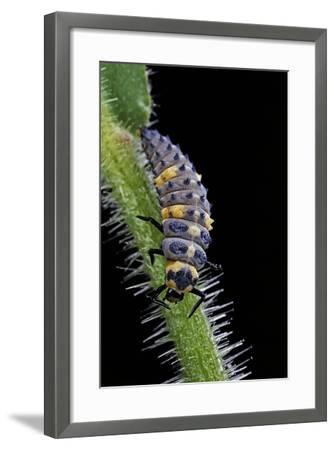 Coccinella Septempunctata (Sevenspotted Lady Beetle) - Larva-Paul Starosta-Framed Photographic Print