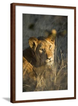 Lion Cub in Tall Grass, Chobe National Park, Botswana-Paul Souders-Framed Photographic Print