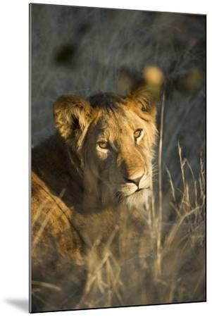 Lion Cub in Tall Grass, Chobe National Park, Botswana-Paul Souders-Mounted Photographic Print