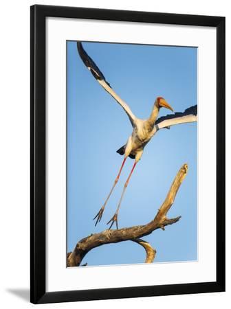 Yellow Billed Stork, Moremi Game Reserve, Botswana-Paul Souders-Framed Photographic Print