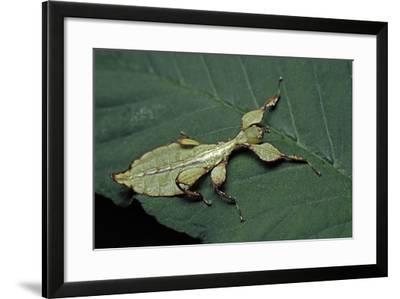Phyllium Giganteum (Giant Malaysian Leaf Insect, Walking Leaf) - Larva-Paul Starosta-Framed Photographic Print