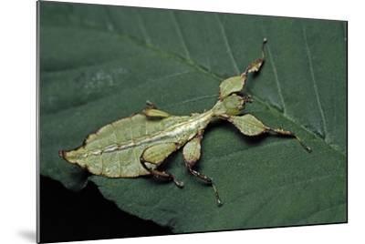 Phyllium Giganteum (Giant Malaysian Leaf Insect, Walking Leaf) - Larva-Paul Starosta-Mounted Photographic Print