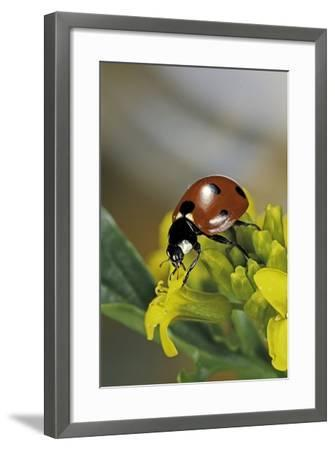 Coccinella Septempunctata (Sevenspotted Lady Beetle)-Paul Starosta-Framed Photographic Print