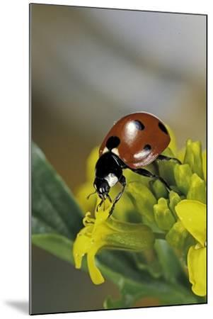 Coccinella Septempunctata (Sevenspotted Lady Beetle)-Paul Starosta-Mounted Photographic Print