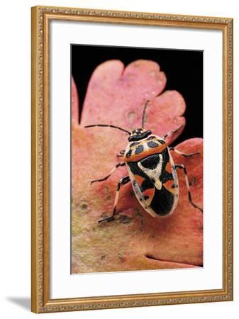 Eurydema Ornata (Shield Bug)-Paul Starosta-Framed Photographic Print