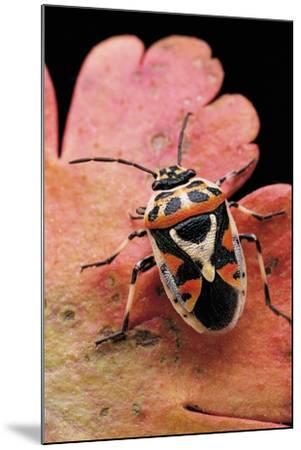 Eurydema Ornata (Shield Bug)-Paul Starosta-Mounted Photographic Print