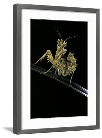Creobroter Gemmatus (Jeweled Flower Mantis)-Paul Starosta-Framed Photographic Print