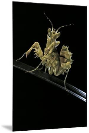 Creobroter Gemmatus (Jeweled Flower Mantis)-Paul Starosta-Mounted Photographic Print