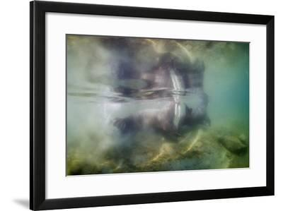 Underwater Walrus and Calf in Hudson Bay, Nunavut, Canada-Paul Souders-Framed Photographic Print