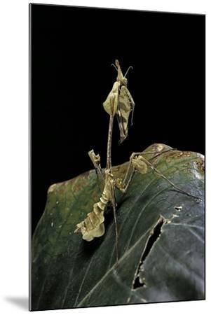 Gongylus Gongylodes (Wandering Violin Mantis)-Paul Starosta-Mounted Photographic Print