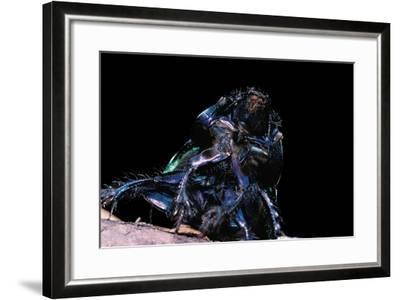 Trypocopris Pyrenaeus (Earth-Boring Dung Beetle)-Paul Starosta-Framed Photographic Print