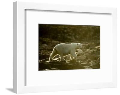 Polar Bear Walking along Hudson Bay, Nunavut, Canada-Paul Souders-Framed Photographic Print